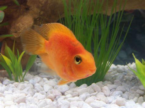 blood parrot fish cichlids com baby blood parrot