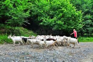 goat herder himalayas fisheye editorial stock photo