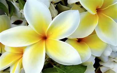 Flowers Yellow Plumeria Tropical Flower 4k Wallpapers