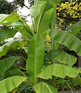big leaf garden plants banana leaf plant big leaves pinterest banana leaves photos and plants