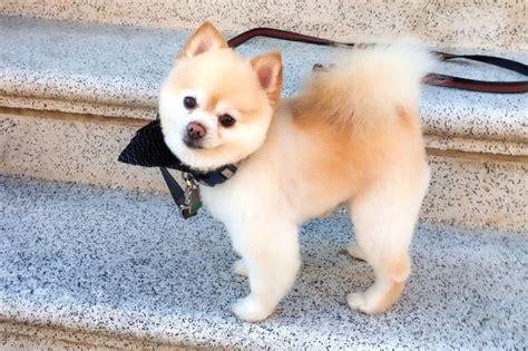 Boo Dog Is The World's Cutest Dog