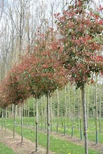Red Robin Baum : photinia fraseri 39 red robin 39 p pini res van den berk ~ Frokenaadalensverden.com Haus und Dekorationen