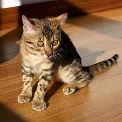 how much is a bengal cat how much does a bengal cat cost howmuchisit org