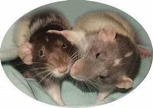 Wie Vertreibt Man Ratten : wie vertreibt man ratten ratgeber bei sch dlingen ratten wenn ratten zum problem werden ratten ~ Eleganceandgraceweddings.com Haus und Dekorationen