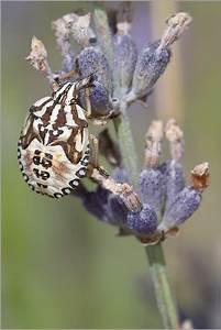 Punaise Immature De Pentatomidae Eusarcoris Fabricii Sur