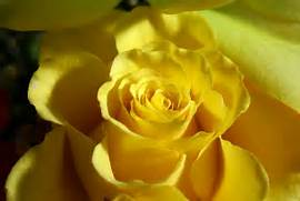 yellow rose flowers wallpapers jpg  Beautiful Pictures Of Yellow Roses