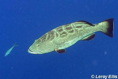 mycteroperca bonaci discover fishes