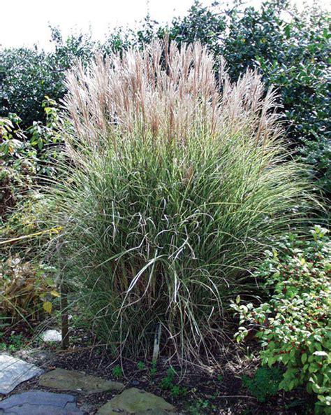 morning light grass miscanthus sinensis morning light j c bakker nurseries