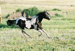 Meet the American Paint Horse: History, Characteristics ...