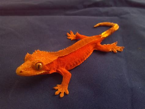 Halloween Crested Gecko Morph by Jack Williford Crested Gecko Lab