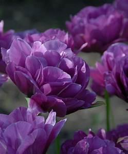 The Peony Flowering Tulip Mixture