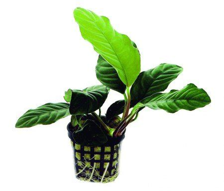 Olx has 1000's ads available in south africa of goods for sale from cars, furniture, electronics to jobs and services listings. Potted Anubias Coffeefolia Aquarium Plant - Aquarium Plants for Sale