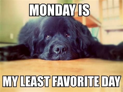 Monday School Meme - newfoundland dog monday meme newfoundland pinterest newfoundland dogs mondays and