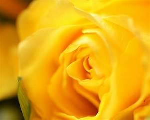 Elegant Yellow Rose, Close up