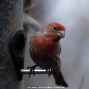 Types of Finches Birds in Missouri