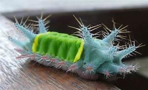 Stinging Slug Caterpillar From Amazonian Peru