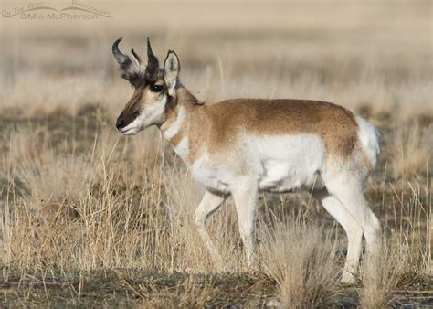 do bighorn sheep shed their horns horn sheath growth in pronghorns mcpherson s on the