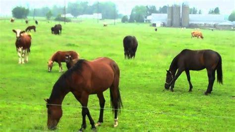 horses cows grazing ponies
