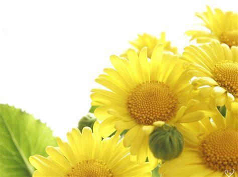 flowers wallpaper yellow hd desktop  wallpaper