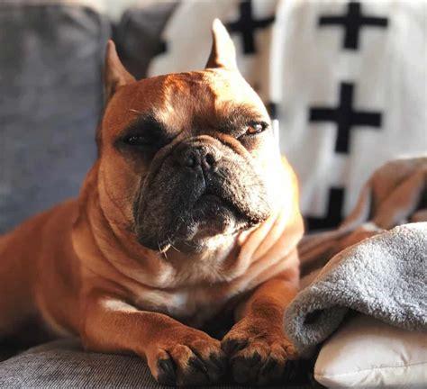 combating french bulldog diabetes