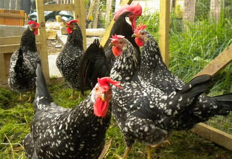 galline da cortile galline ovaiole razze pi 249 produttive e come allevarle per