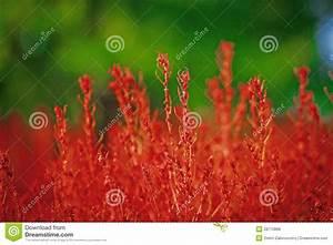 Rotes Gras Winterhart : rotes gras stockfoto bild von g nsebl mchen sch nheit ~ Michelbontemps.com Haus und Dekorationen