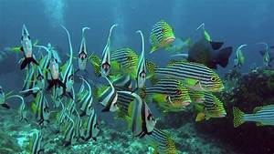 School of unique exotic striped fish underwater in sea of ...