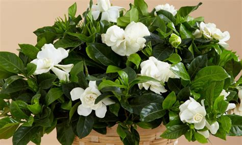 Indian Nursery  Potted Fragrant Gardenia Exporter And