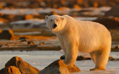 Polar Bear Full Hd Wallpaper And Background