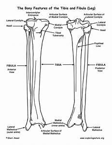 Tibia And Fibula  Lower Leg   U2013 Bony Features