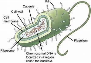 4 2a  Characteristics Of Prokaryotic Cells