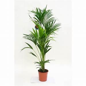 Plantes à Suspendre : kentia forsteriana plantes vertes autres marques maison ~ Premium-room.com Idées de Décoration