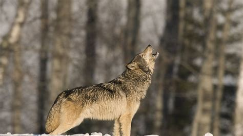 wolves howl love scientists  abc news