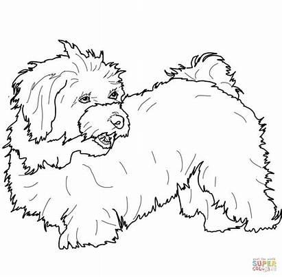 Coloring Havanese Hund Dog Colorat Malteser Maltese
