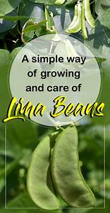 Growing And Care Of Lima Beans