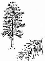 Pine Tree Tattoo Sketch Outline Trees Coloring Clipart Pages Drawing Clip Sketches Branch Cliparts Ponderosa Library Pines Sun sketch template