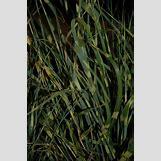 Miscanthus Gold Breeze | 531 x 800 jpeg 220kB