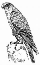 Faucon Falcon Dessin Tatouage Coloriage Aigle Wikimedia Commons Animaux Peregrine Les Plus sketch template
