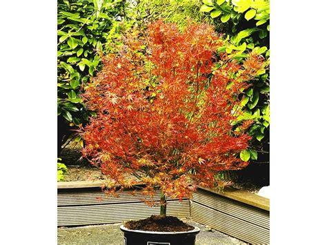 japanischer ahorn topf japanischer ahorn katsura 1 pflanze acer palmatum lidl deutschland lidl de