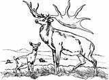Elk Coloring Bull Deer Fighting Sketch Drawing Colornimbus Printable Young Gambar Template sketch template