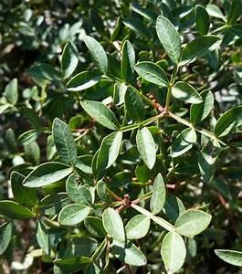 Mastic Tree - Pistacia lentiscus - Beautiful low spreading ...