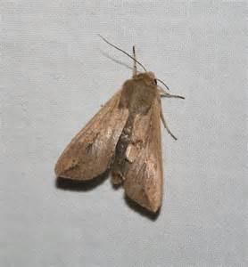 Army Worm Moth