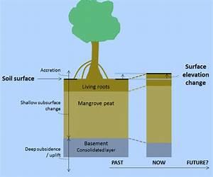 Can Mangroves Adapt To Rising Seas