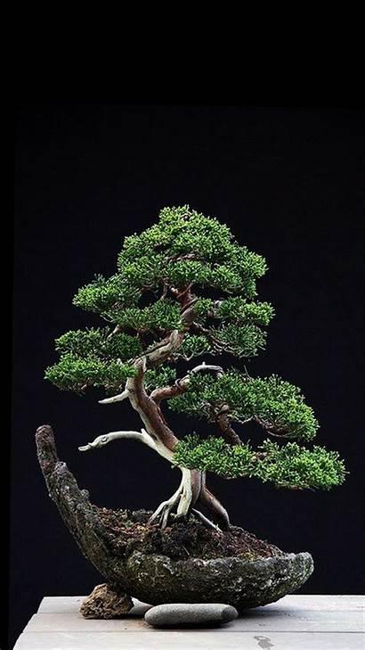 Bonsai Tree Phone Juniper Zedge Wallpapers Trees