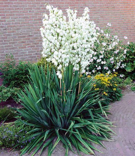Garten Yucca Kaufen by Palmlilie Yucca 1a Pflanzen Kaufen Baldur Garten