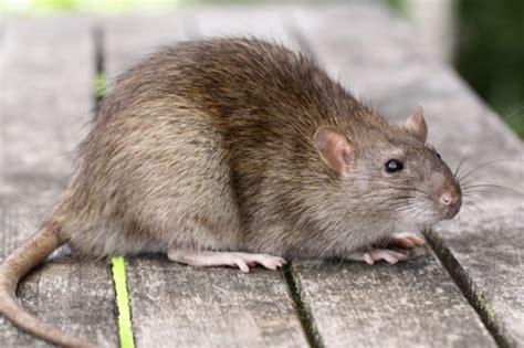 was fressen ratten am liebsten wow haustiere ausgefallene tiere die ihnen gro 223 e freude bereiten