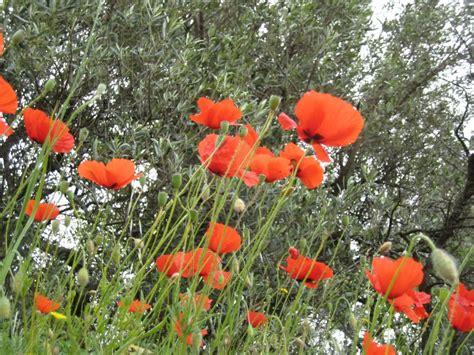 Garten Mohn Pflanzen by Blumenfotos Mohn Pflanzen Garten Blumen Pflanzen Biz