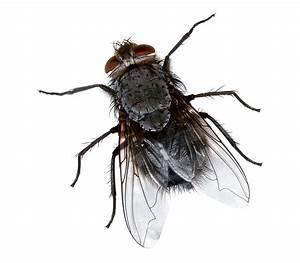 Fliegen In Der Erde : fliegen wikipedia ~ Lizthompson.info Haus und Dekorationen