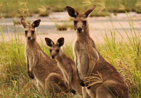 kangaroo wallpapers backgrounds