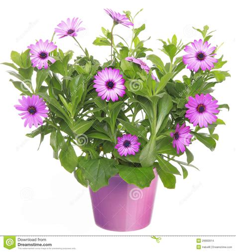 pot with violet flower stock photo image 29900914